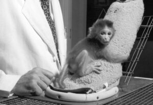 infant attachment-A baby monkey from Harlow's experiment clings to a towel-covered fake mother.