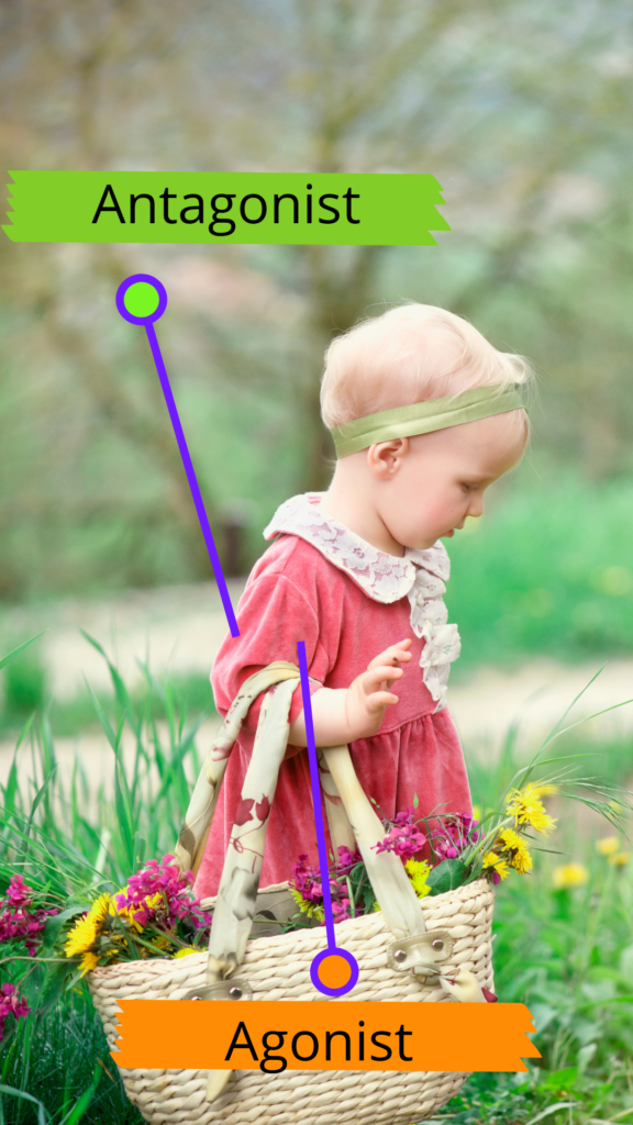 A child in a red dress bends their elbow to carry a basket of flowers. A label for the antagonist muscle points to the back of the upper arm, and a label for the agonist muscle points to the front of the upper arm.